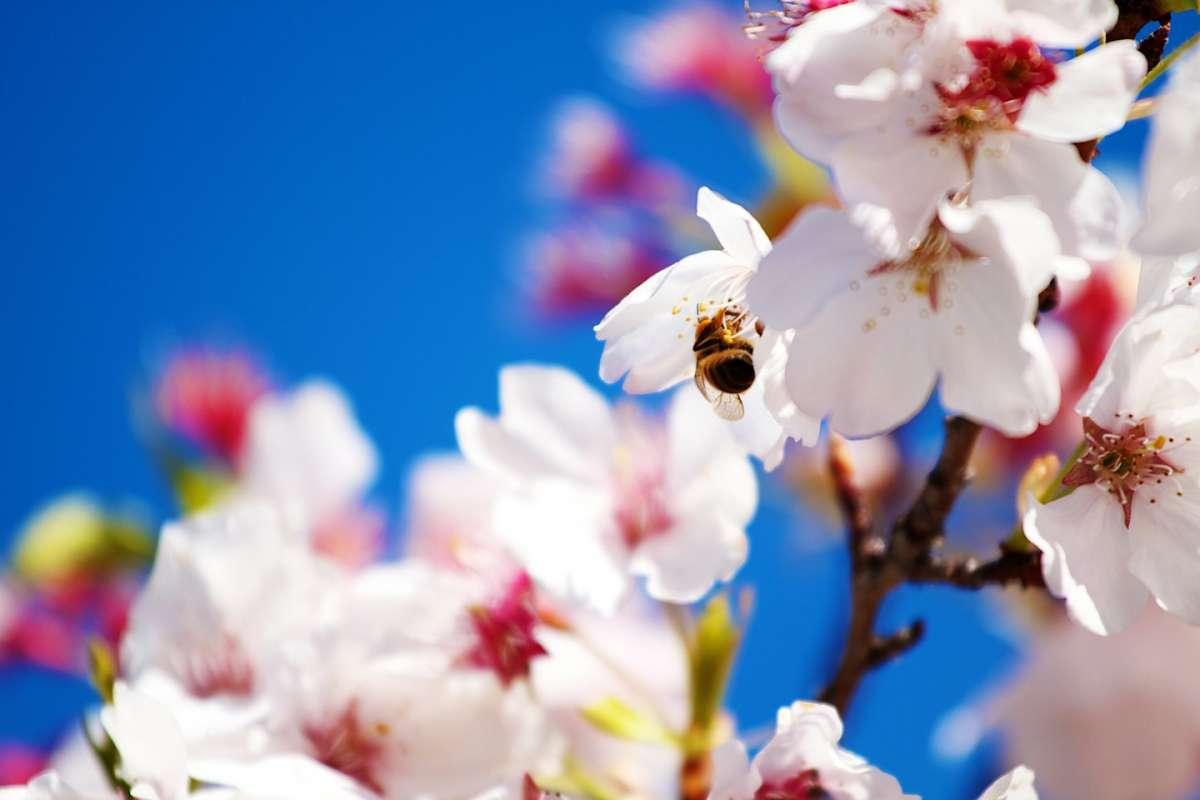 La api sui fiori in primavera