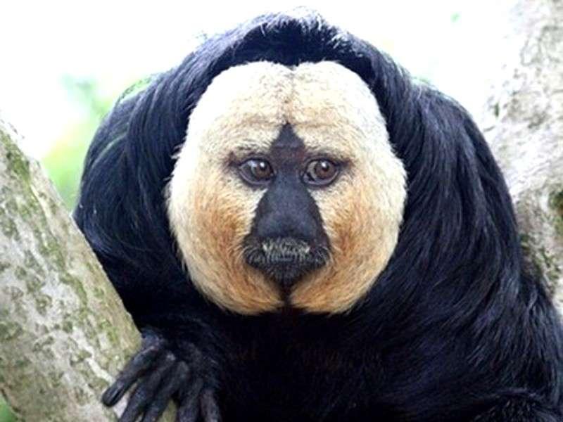 Scimmia Saki