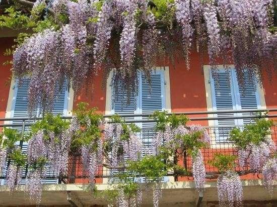 Glicine per il balcone