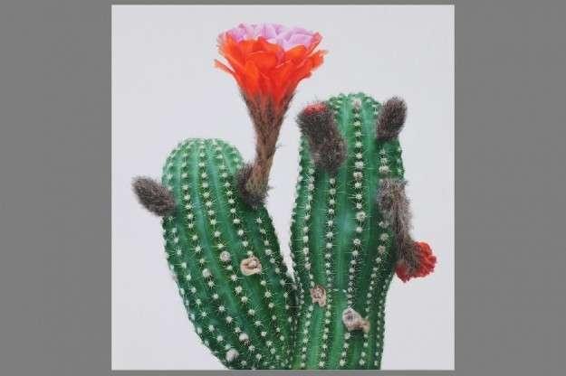 Cactus dai fiori rossi