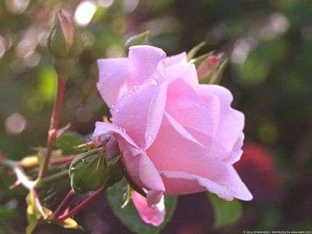 Rosa, fiore estivo